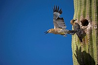 Gila Woodpecker (Melanerpes uropygialis). Male emerging from nest in Saguaro cactus. Female at nesting hole with food for young. Arizona. Common Sonor...