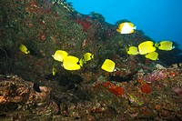 Butterflyfish, Maui, Hawaii, USA