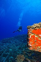 Molokini, Maui, Hawaii, USA, Scuba diver with a video camera at a volcanic crater and Red Sponges Porifera