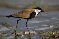 Spur_winged lapwing plover, Vanellus spinosus, Selous Game Reserve, Tanzania