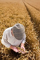 Farmer examining wheat