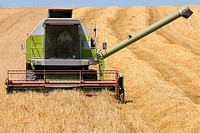 Farmer driving combine in barley field