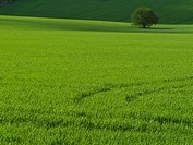Green barley field with lone tree