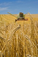 Close up of barley with combine in background