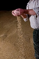 Wheat grains falling from farmer's hands