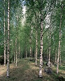 Birch forest in springtime in the village of Hyvinkää, southern Finland.