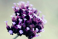 Verbena bonariensis plant in flower close up. England UK