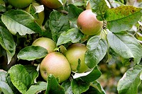 Apples growing in fruit tree close up. England UK
