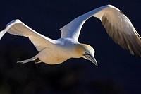 Close_up of Northern Gannet Morus bassanus in flight