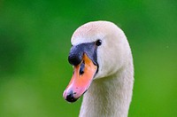 Close_up of Mute swan Cygnus olor