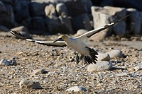 Northern Gannet (Morus bassanus) in flight, Lambert's Bay, South Africa, Africa