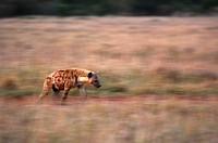 Spotted Hyena (Crocuta crocuta), Masai Mara, Kenya, Africa