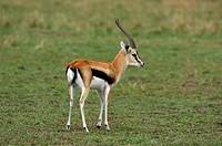 Thomson gazelle (Eudorcas thomsonii) Masai Mara, Kenya Africa