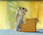 Gerbil (Gerbillinae) standing on its hind legs in front of a chomped-off biscuit