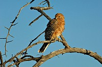 Greater Kestrel Falco rupicoloides on perch