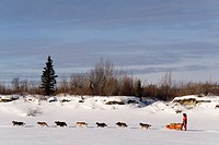 Musher with his team at the Yukon Quest dog sled race, Takhini River, Yukon Territory, Canada