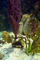 New Zealand sea horse, Hippocampus abdominalis