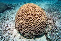 Brain coral Platygyra daedalea in the Bunaken underwater national park, Indonesia.