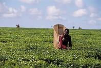 tea plantation, thiolo, malawi, africa