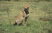 cheetah sittig in the grassland of Serengeti National Park, Tanzania