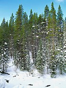Fresh snowfall near Cameron Pass in the Colorado Rocky Mountains, Colorado, USA