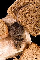 Mouse on some slinces of bread