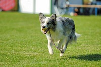Dog warming up for his action during the dog sport Flyball, Hungen, Hesse, Germany