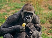 Gorilla with young, gorilla gorilla