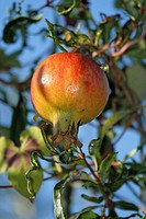 Pomegranate, Punica granatum, fruit_bearing deciduous shrub, fruit, detail, fruits, leaves, leafs, branch, nature, foo