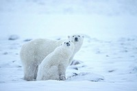 Polar Bear Thalassarctos maritimus Mother with cub