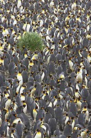 King Penguin _ Huge breeding colony Aptenodytes patagonicus Salisbury Plain