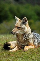 Patagonian Grey Fox (zorro gris chico, dusicyon griseus, lesser grey fox), Torres del Paine National Park, Patagonia, Chile
