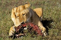 Lioness eating her prey (panthera Leo), Masai Mara National Reserve, Kenya
