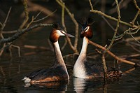 Great Crested Grebes, (Podiceps cristatus), mating