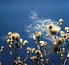 Thistles, flying seeds