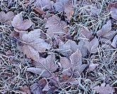 Maple leaves with hoarfrost