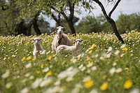 Sheep in Spring Meadow, Near Son Carrio, Mallorca, Balearic Islands, Spain