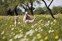 Sheep in Spring Meadow, Near Son Carrio, Mallorca, Balearic Islands, Spain