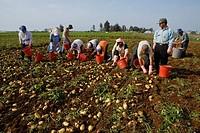 Group of people harvesting potatoes, potato harvest, near Perivolia, Larnaka district, South Cyprus, Cyprus