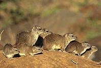 Rock Hyrax, Procavia capensis, Masai Mara NP, Kenya, Africa