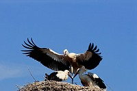 Storks, White storks (Ciconia ciconia)