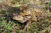 Common toads (Bufo bufo)