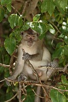 Crab eating macaque (macaca fasicularis) sitting in a tree