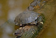 Red ear turtle, Trachemys scripta elegans, Florida, USA