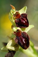 Early spider-orchid (Ophrys sphegodes)