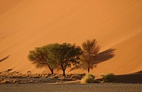 Trees at the base of a sand dune, Namibia, Africa