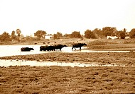 Water buffalo finish a day of cooling off in desert region of India