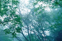 Trees in the Mist, Low Angle View