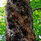 a Tree Trunk, Surrounded By a Green Environment, Low Angle View, Differential Focus, Nagano Prefecture, Japan