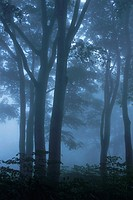 Several Trees, Surrounded By Fog and Mist, Low Angle View, Soft Focus